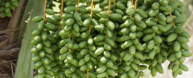 manfaat kurma muda hijau