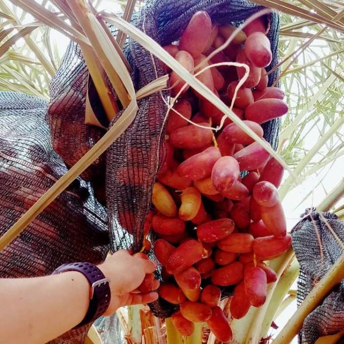 manfaat kurma muda merah