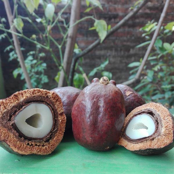 buah zuriat madinah asli