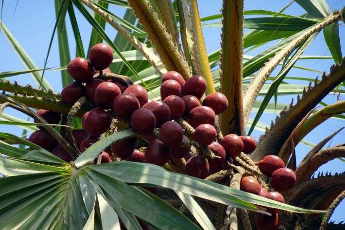 Pohon buah zuriat